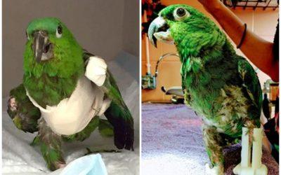 3d štampa pomogla papagaju da se oporavi